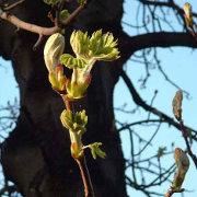 Brote primaveral